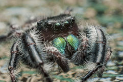 Jumping spider (Salticidae) Royalty Free Stock Photography