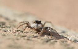 Jumping spider Salticidae species family. Commonly known Jumping Spider seen on a garden in the Mediterranean Spanish island of Mallorca, macro front view detail royalty free stock photos