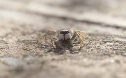 Jumping spider Salticidae species family wide. Commonly known Jumping Spider seen on a garden in the Mediterranean Spanish island of Mallorca, macro front view royalty free stock photography