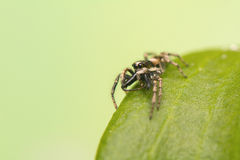 Jumping spider - Salticus scenicus Royalty Free Stock Photography
