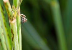 Jumping spider Salticus scenicus Stock Photo