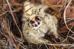 Jumping Spider Royalty Free Stock Photography