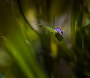 Jumping spider (Salticus scenicus) portrait Stock Image