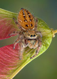 Jumping spider on seed pod Stock Photo