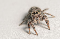 Jumping spider. On a silver grey surface and background Royalty Free Stock Image