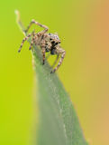 Jumping spider - Sitticus pubescens Stock Image