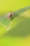 Jumping spider - Sitticus pubescens Royalty Free Stock Photo