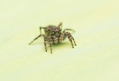 Jumping spider - Sitticus pubescens Royalty Free Stock Photography