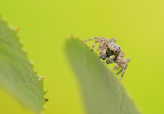 Jumping spider - Sitticus pubescens Royalty Free Stock Photos