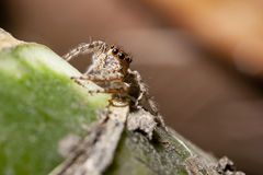 Jumping spider sitting on green wood Royalty Free Stock Photos