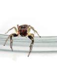 Jumping spider sitting on jar - Salticidae Stock Image