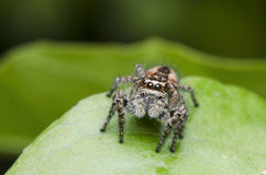 Jumping Spider. Small Jumping Spider On Green Background Royalty Free Stock Image