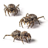 Jumping spider Stock Photo