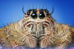Jumping Spider, Spider, Insect Royalty Free Stock Image