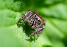 Jumping Spider. Spiders - amazing and mysterious creatures. The size of some of them are very small. Different species of spiders completely different behavior Stock Photos