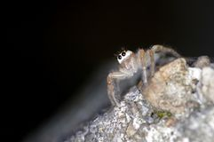 Jumping spider on stone Royalty Free Stock Photos