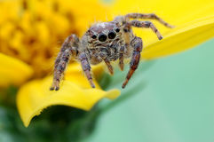 Jumping spider. A jumping spider station on the yellow flower Stock Image