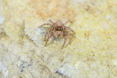 Jumping Spider - Stock Image Stock Photography
