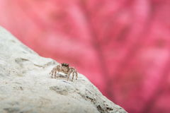 Jumping Spider - Stock Image Stock Photo