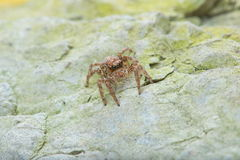 Jumping Spider - Stock Image Royalty Free Stock Photo
