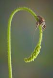 Jumping spider on sundew stem Stock Image