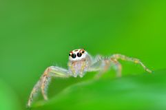 Jumping spider from Thailand. Green background Stock Photography
