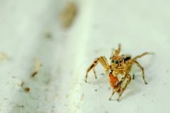 Jumping spider thailand. Lite small insect on the world Royalty Free Stock Photos
