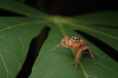 Jumping spider on the top of the leaf. Tiny jumping spider looking for pray royalty free stock photography