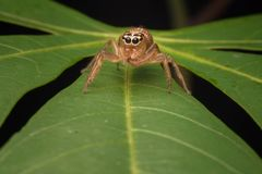Jumping spider on the top of the leaf. Tiny jumping spider looking for pray stock photos