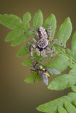 Jumping spider touching fly Stock Photo