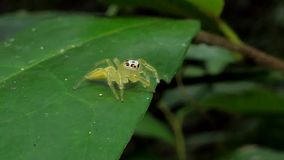 Jumping spider in tropical rain forest. stock video