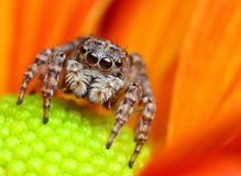 Jumping spider from Turkey. Small cute jumping spider from Turkey Royalty Free Stock Photography