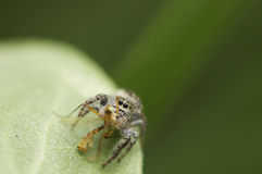 Jumping spider and Victim Stock Images