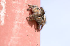 Jumping Spider on wall Stock Image