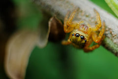 Jumping spider watching. A vigilant jumping spider look Royalty Free Stock Photo