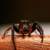 Jumping spider watching you. A vigilant jumping spider looks out stalking its next meal Royalty Free Stock Photography