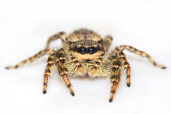 Jumping spider on white Royalty Free Stock Photos