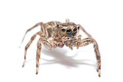 Jumping spider on white background Royalty Free Stock Images