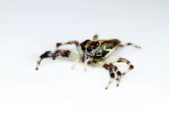 A Jumping Spider on white background Stock Photos