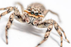 Jumping Spider. On a White Surface/Background Royalty Free Stock Image