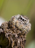 Jumping Spider on withered Flower stock images