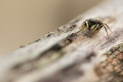 Jumping spider on wood. This is a photograph of a little jumping spider on a piece of wood royalty free stock photo