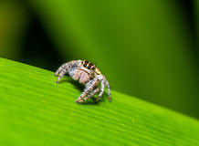 Jumping Spider (Hyllus semicupreus) waiting for prey on green leaf Stock Image