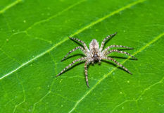 Jumping Spider (Phaeacius malayensis) waiting for prey on green leaf Stock Photo
