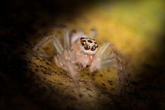 Jumping Spider on yellow leaf extreme close up - Macro photo of Royalty Free Stock Image