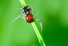 Jumping spiders. Royalty Free Stock Photos
