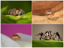Jumping Spiders. Four Different Images of Jumping Spider Stock Photos