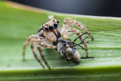Free Jumping Spiders Royalty Free Stock Image - 44352706
