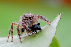 Jumping spiders food Royalty Free Stock Image