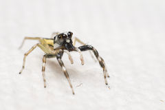 Jumping spiders Stock Photography